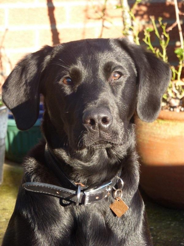 Danny Boy Labrador Puppy