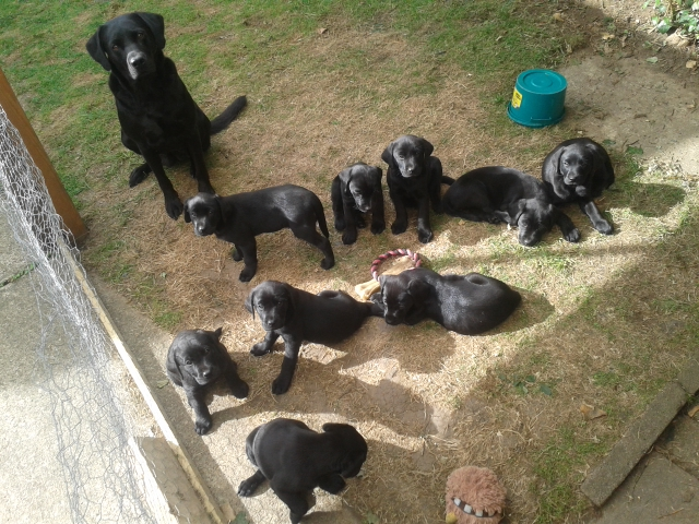 Nine puppies and Labrador mum