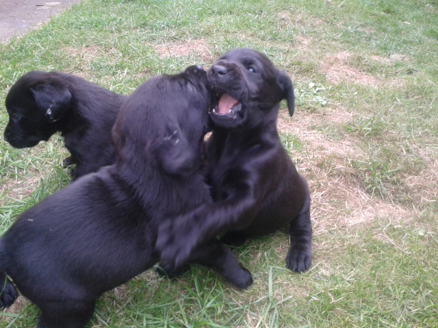 pups play-fighting