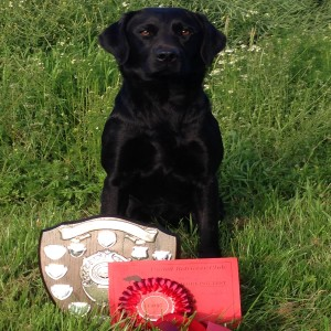 labrador puppy trials winner