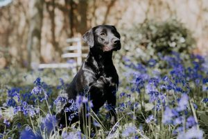 Puppy dog Jess amongst the bluebellsnear Scunthorpe